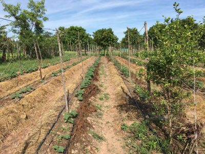 Integration of multi-purpose trees, fruit trees, rice, vegetable and livestock, Cambodia