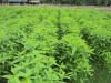 Green manure (Crotalaria juncea) for paddy cultivation, Myanmar