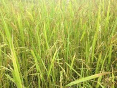 Sangthong Organic Rice Producer Group (2)