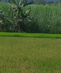 Ye Htut Aung farm